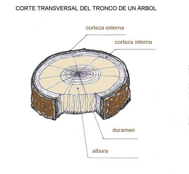 La madera tecnolog a 2 eso for Imagenes de las partes del arbol